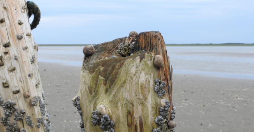 Rurer og strandsnegle på faskinpæl