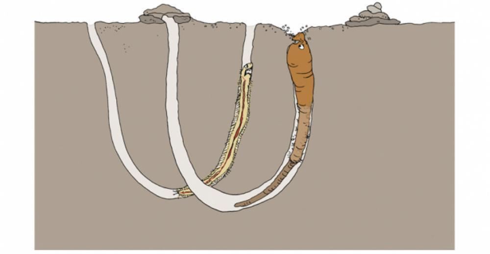 Sandorm og frynseorm